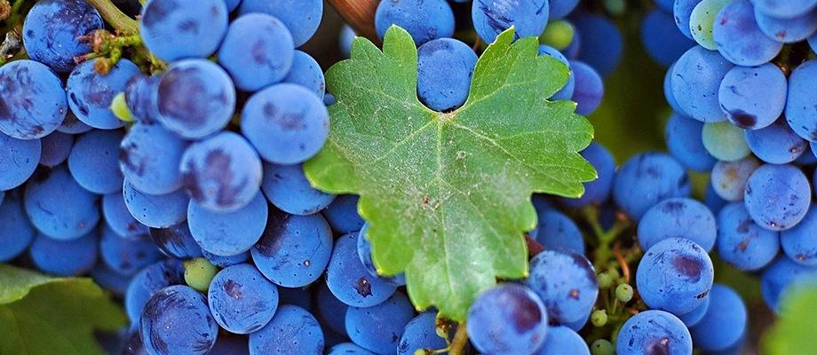GB_grapes1